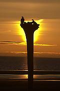 Bald Eagle, Haliaeetus leucocephalus, on stump, silhouetted against setting sun, Kenai Peninsula, Homer Spit, Homer, Alaska. Digital original, #2006_1124 ©Robin Brandt