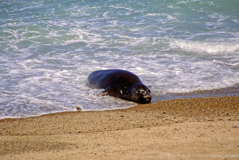 South America, Argentina, Valdes Peninsula. Sea Lion of the Valdes Peninsula.