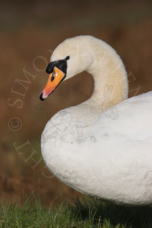 Mute Swan (Cygnus olor) adult profile, close-up of head and neck, England