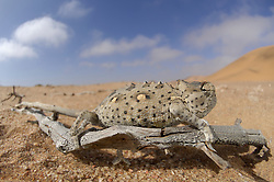 Namaqua Chamaeleon (Chamaeleo namaquensis) Namib Desert sand. Desert chameleon (Chamaeleo namaquensis)<br />Fog that originates from the closely located cold Atlantic Ocean settles down on the sand dunes of the Namib Desert over night. Many animals including fog basking beetles are specialised in collecting this water in the morning.&nbsp;Other animals such as the desert chameleon cover their demand for water by preying on these juicy beetles. This chameleon represents one of the larger predators in the Namib Desert. It is commonly found in small bushes or on pieces of wood where it is perfectly camouflaged. We had been examining bushes in the desert for two days until we finally found a chameleon. The photo was taken without using a tripod so that I could get the side view of the animal rather than capturing it from on top where it would easily blend with the background.