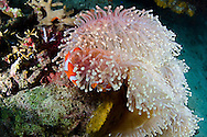 Ocellaris clownfish, Amphiprion ocellaris, Bali Indonesia