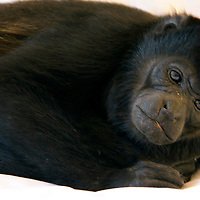 Central America, Costa Rica, Tamarindo. Restful Howler Monkey.