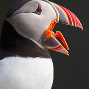 An Atlantic puffin (Fratercula arctica) shows off its tongue, which is specially adapted to allow it to carry many fish in its bill at one time. Atlantic puffins typically carry about 10 fish in their bills at one time, using their tongues to hold their catch against spines on their palate. This Atlantic puffin was photographed on the Látrabjarg bird cliff in Iceland; about 60 percent of all Atlantic puffins breed in Iceland.