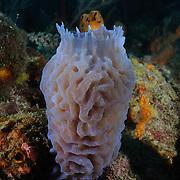 Azure Vase Sponge (Callyspongia plicifera)