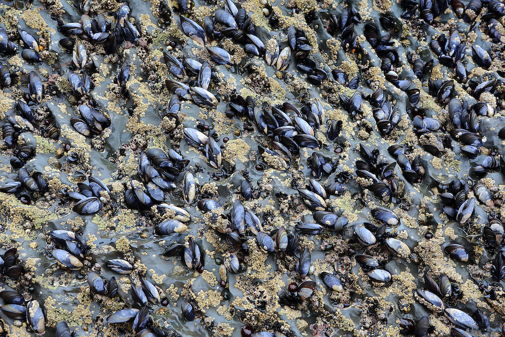 Mussels and limpits on the rocks at Bedruthen Steps beach, north Cornwall