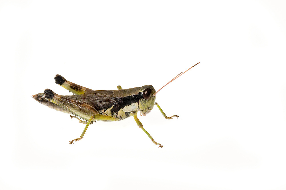 Green-legged Grasshopper (Melanoplus viridipes)