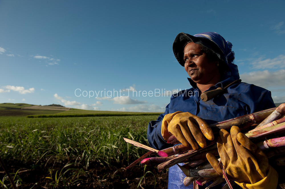 Mauritius. Women working in sugarcane fields.