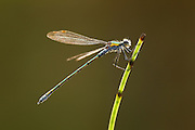 Emerald Damselfy (Lestes sponsa) adult male at rest, Cairngorms National Park, Scotland