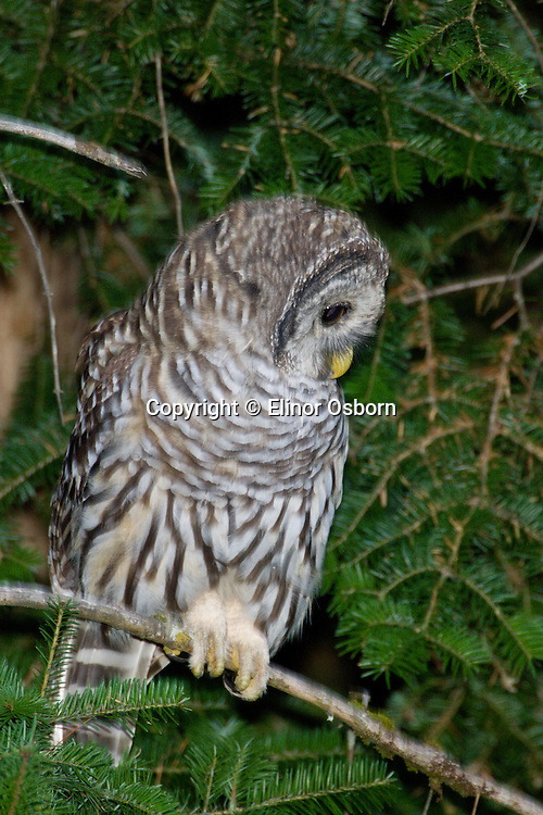 Barred Owl, fledgling