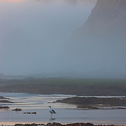 A California Gull (Larus californicus) rests on the beach as thick fog envelopes Otter Crest on the central Oregon coast.