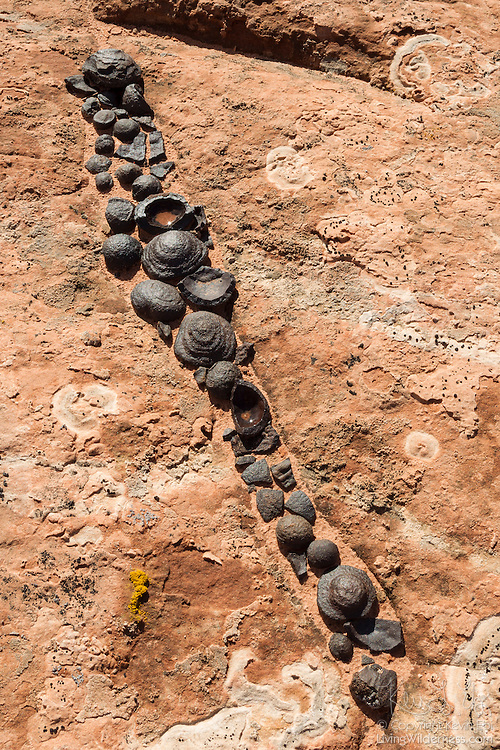 Dozens of iron concretions are trapped in a small crack in the Grand staircase Escalante in southern Utah. These iron concretions formed naturally between 6 and 25 million years ago as water dissolved the iron pigment in the red sandstone in the area. The pigment flowed down through the now bleached sandstone and then solidified when it came in contact with oxygenated water, forming a new iron mineral called hematite between the grains of sandstone. Over time, the sandstone eroded away, leaving the more durable iron concretions behind. These largely spherical balls are composed of a hard outer layer of hematite covering a ball of pink sandstone. By volume, the sandstone makes up the majority of these iron concretions, though those found elsewhere in the Colorado Plateau may contain much more hematite. Scientists aren't sure why they form in spheres or if they need something in particular as a nucleus to start growing.