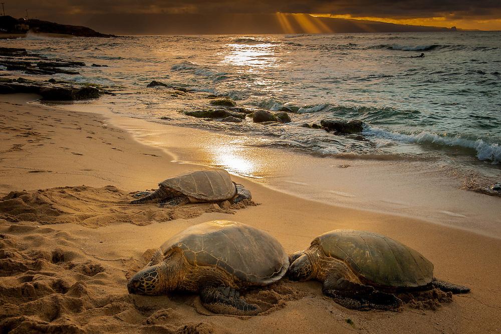 Green Turtles along the coast of Hawaii.