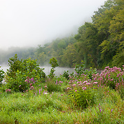 A variety of wildflowers, including blazing star (Liatris spiciata), grow along the foggy banks of the Allegheny River in the Allegheny National Forest in Pennsylvania.