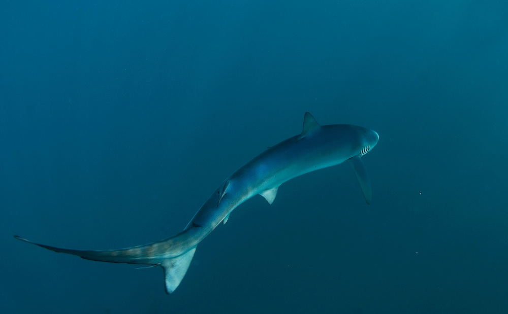 Blue shark, Prionace glauca.  A female blue shark swims away from the camera.  Blue sharks are easily recognisable by their slender form, long pectoral fins and vivid blue colour.  Like many shark species they are counter-coloured, blue on their backs and white below.  Blue sharks are found off Southwest Britain between July and October.  For reasons that are still not fully understood it is most females that are seen in British waters.  Female blue sharks can be recognised by the absence of of claspers on their belly; sexually mature female blues will often have prominent scars of their head, neck and back.  These are mating scars causing by bites from the male blue shark during mating.  Blue sharks are found in all major oceans, in temperate and tropical waters.