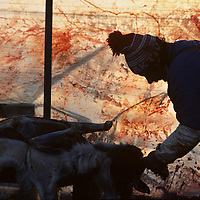 Europe, Norway, Sami herder slaughters reindeer during early winter harvest near arctic town of Kirkennes