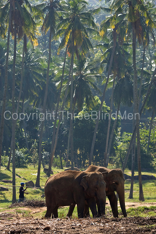 Pinnawala Elephant Orphanage is an orphanage, nursery and captive breeding ground for wild Asian elephants located at Pinnawala village, 13 km (8.1 mi) northwest of Kegalle town in Sabaragamuwa Province of Sri Lanka. Pinnawala is notable for having the largest herd of captive elephants in the world. In 2011, there were 88 elephants, including 37 males and 51 females from 3 generations, living in Pinnawala.
