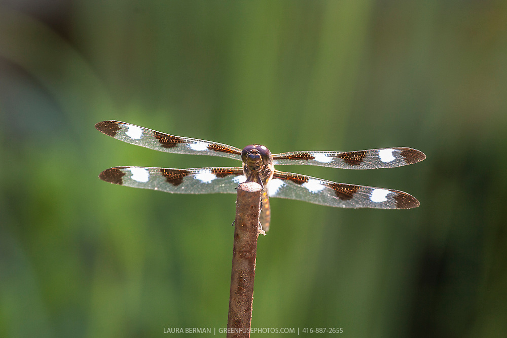 The Twelve-spotted Skimmer (Libellula pulchella) perched on a stick above a pond. It is a common North American skimmer dragonfly, found in southern Canada and in all 48 of the contiguous U.S. states..It is a large species, at 50mm (2.0in) long. Each wing has three brown spots. In adult males, additional white spots form between the brown ones and at the bases of the hindwings; it is sometimes called the Ten-spot Skimmer for the number of these white spots.