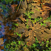 Plants and fallen leaves are visible in the water of a clear stream in the Hoh Rain Forest in Olympic National Park, Washington. Fine grains of sand cleanse the streams of the rain forest, resulting in clear, pure water.