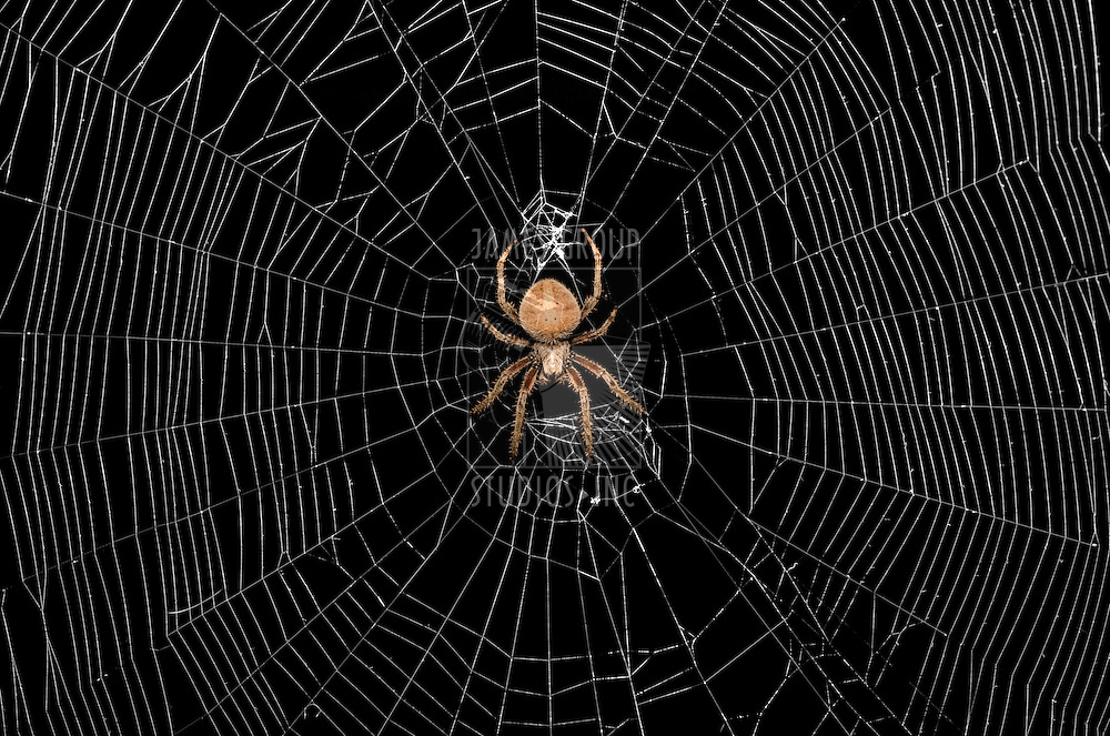 Large spider in the center of a web on a black background