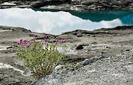 Wild Sweet Pea (Hedysarum Mackenzii) growing on the terminal moraine of Matanuska Glacier in Southcentral Alaska. Spring. Morning.