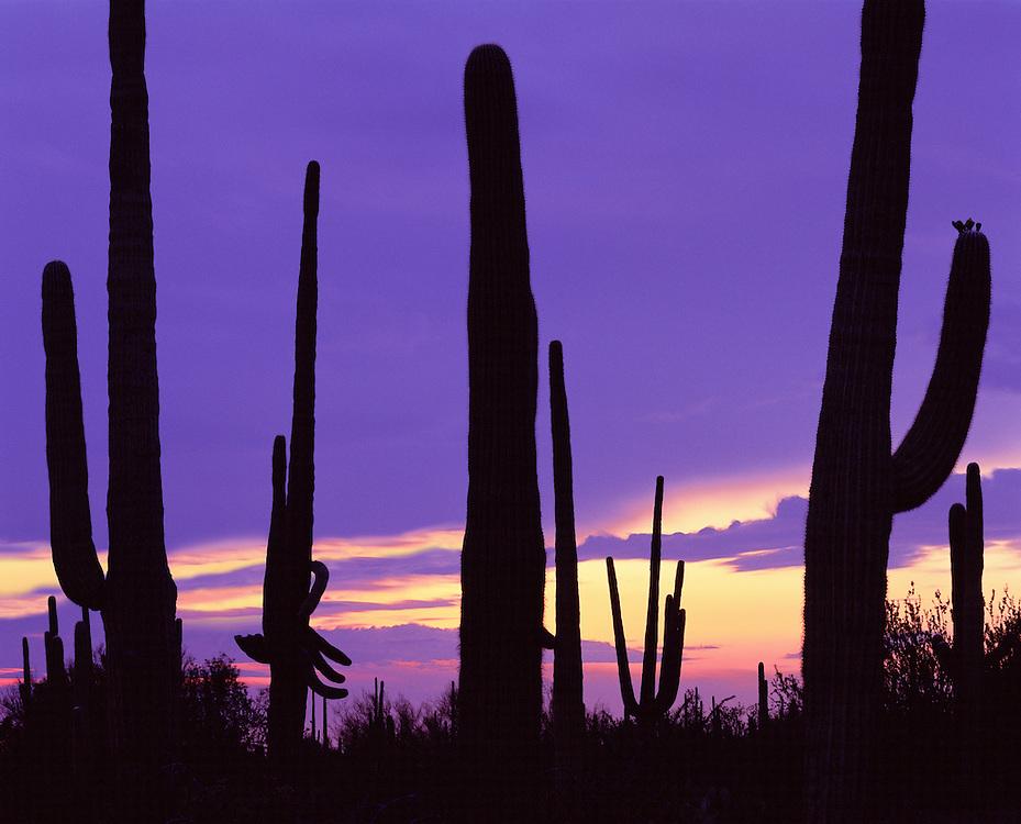 0115-1033LVT ~ Copyright: George H. H. Huey ~ Saguaro cactus at dusk, with summer storm clouds.  Saguaro National Park, Arizona.