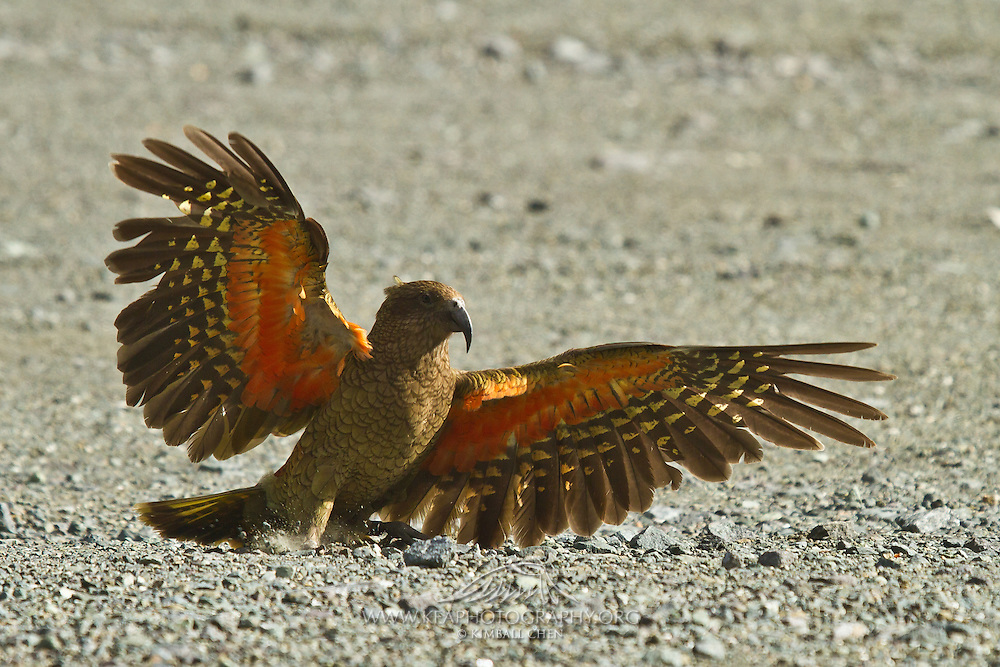 Kea, alpine parrot, Fiordland, New Zealand