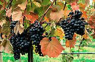 Mudd Vineyards, Ltd., Mattituck, New York, USA