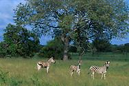 Zebra .Sabi Sand Reserve.South Africa
