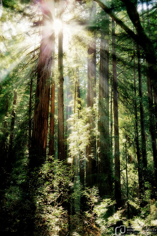 Giant Redwood trees of Muir Woods National Monument in Marin County, California.  Photo by Jennifer Rondinelli Reilly. All Rights reserved. NO USE WITHOUT PERMISSION.