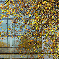 Autumn in Ireland, 2012: Autumn leaves on a tree blow gentlyu in the wind infront of the glass fascade of an office building. Grand Canal, Dublin Ireland