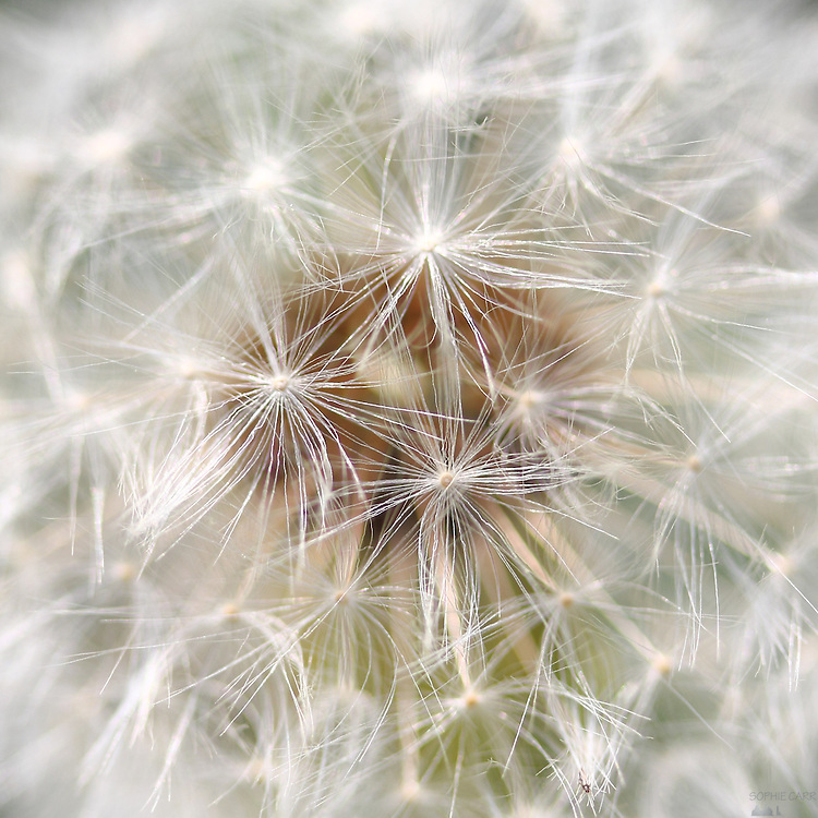 Close-up of a dandelion seed head at the London Wetland Centre, Barnes, London