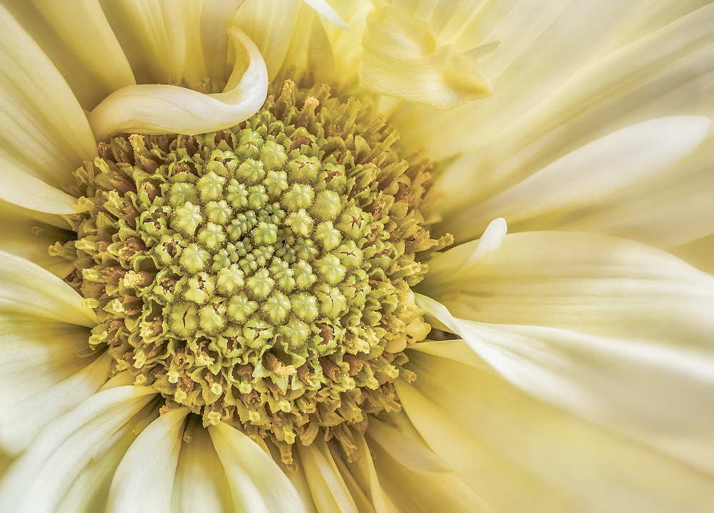Macro of the middle of a yellow daisy flower.