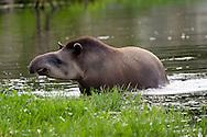 Lowland or South American Tapir (Tapirus terrestris)<br /> FLORIDA: Palm Beach Co.<br /> Lion Country Safari<br /> 21.May.2010<br /> J.C. Abbott