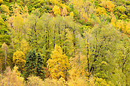 Fall colors of Aspen and other trees begin to peak along the slopes of the Talkeetna Mountains bordering the Little Susitna River Valley in Hatcher Pass in Southcentral Alaska. Autumn. Afternoon.