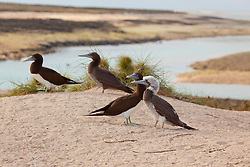 Brown Boobies (Sula leucogaster) on the Lacepede Islands to the north west of Broome.  The Lacepede Islands are an important breeding area for Boobies.