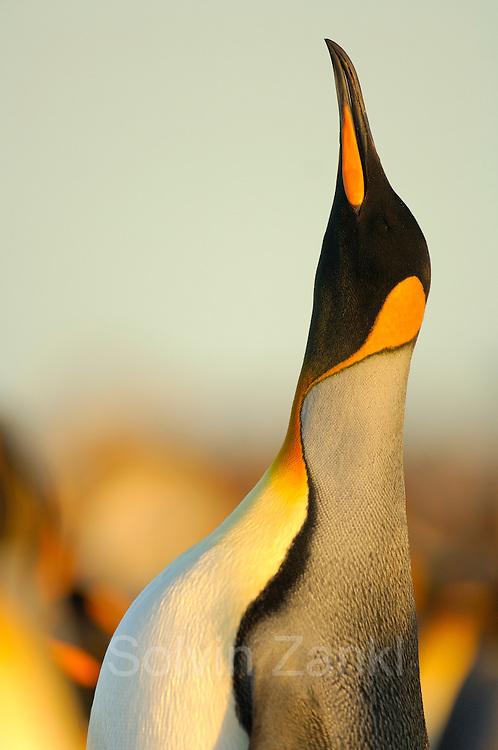 Ein männlicher Königspinguin (Aptenodytes patagonicus) richtet sich hoch auf, um mit einem lauten Ruf seinen Konkurrenten zu imponieren. | A male king penguin (Aptenodytes patagonicus) stands tall and calls during display.