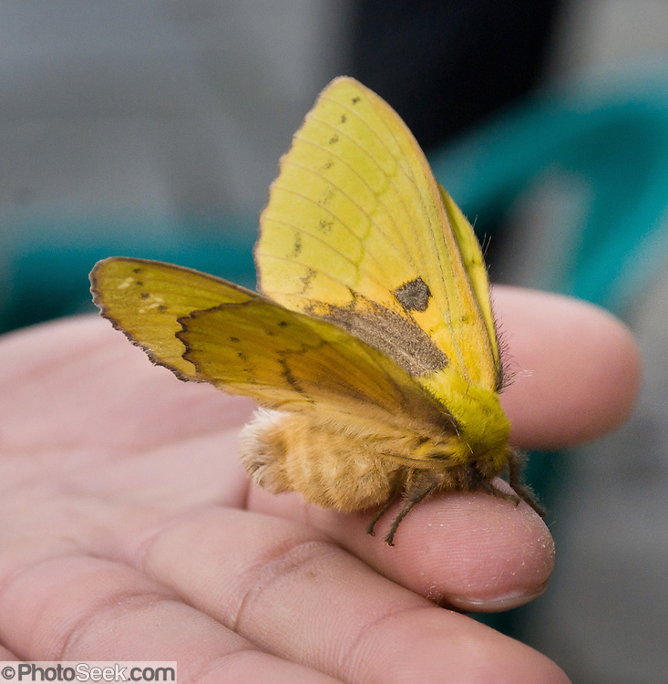 A yellow moth held by hand, at Chomrong (alternative spellings Chhomrong, Chhomrung, Chhumro; 7250 feet elevation) in the Annapurna Conservation Area of Nepal.