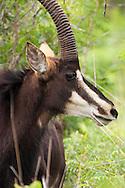 Sable (Hippotragus niger)<br /> SOUTH  AFRICA: Mpumalanga Province<br /> Mauricedale Game Farm near Malelane<br /> 20.Jan.2006<br /> S25 31.472 E031 36.715 362m<br /> J.C. Abbott #2235