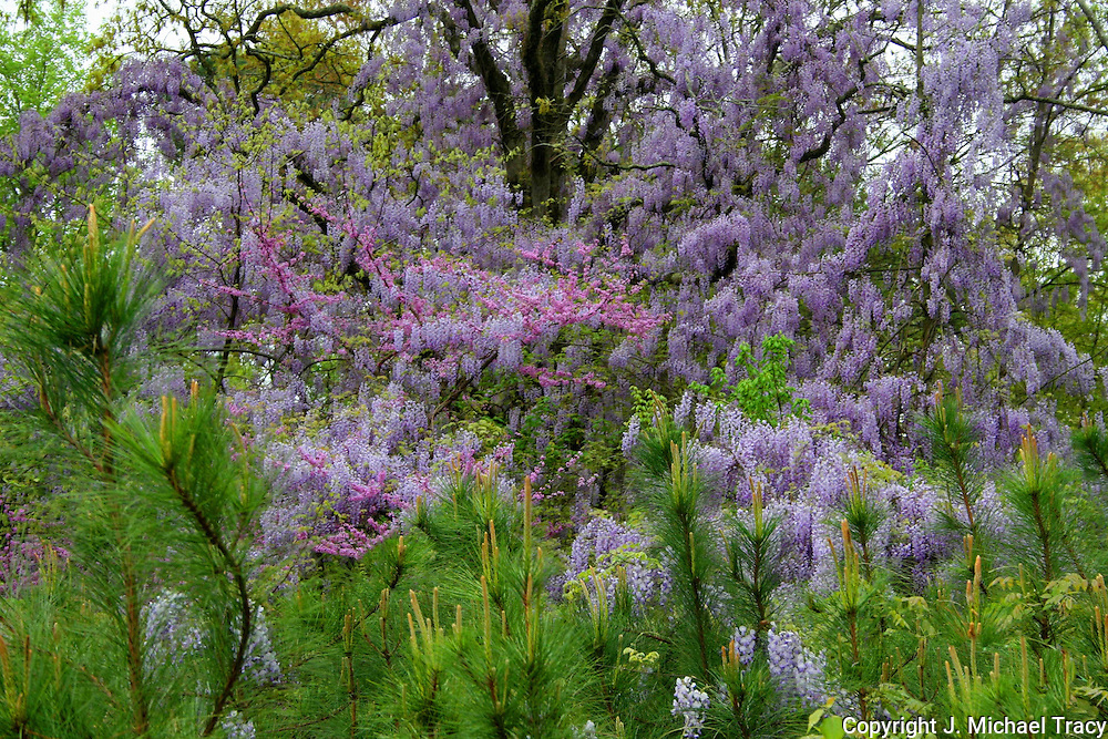 Springtime in Georgia. Wild Wisteria and other spring flowers drape the oaks and baby pines, exploding in lavender color.