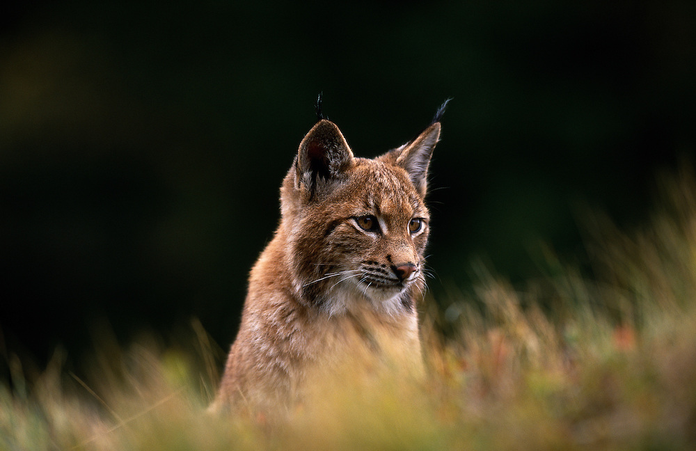 Young European lynx sitting amongst grass
