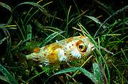 UNDERWATER MARINE LIFE CARIBBEAN, generic FISH; Porcupine Fish Diodon hystrix