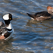 Hooded mergansers in Victoria, BC harbor