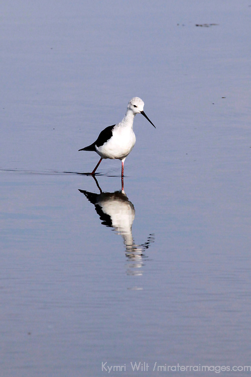 Africa, Botswana, Savute. Black-Winged Stilt in Chobe National Park.