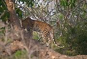 Female Leopard cub climbing tree, Yala, Sri Lanka