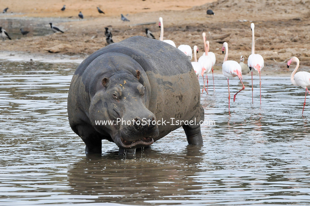 Hippopotamusesand flamingoes in a watering hole