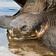 A Galápagos giant tortoise (Chelonoidis nigra, formerly Geochelone elephantopus) rests in a pool of water at the Charles Darwin Research Station (CDRS, operated by the Charles Darwin Foundation) in Puerto Ayora on Santa Cruz Island, Galápagos islands, Ecuador, South America. This species is the largest living tortoise and is native to seven islands of the Galápagos archipelago. Fully grown adults can weigh over 300 kilograms (661 lb) and measure 1.5 meters (5 feet) over the curve of the shell. They are long-lived with a life expectancy of up to 100-150 years in the wild. Populations fell dramatically because of hunting and the introduction of predators and grazers by humans since the 1600s. Only ten subspecies of the original twelve exist in the wild. Since Galápagos National Park and the Charles Darwin Foundation were established, hundreds of captive-bred juveniles have been released back onto their home islands.
