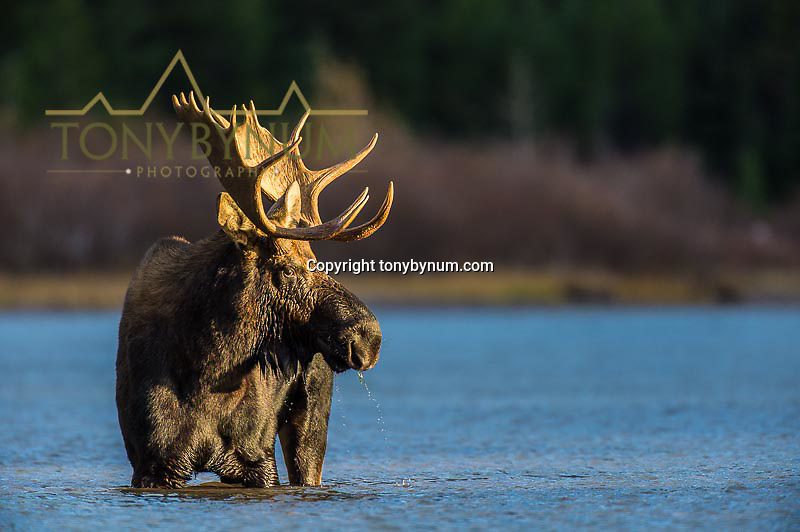 large bull moose in lake