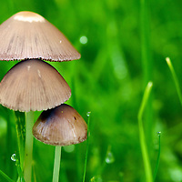 Some Mushrooms grow among the dew tipped grass. Some Mushrooms can grow from from nothing to full-up 'shroom in a single day!