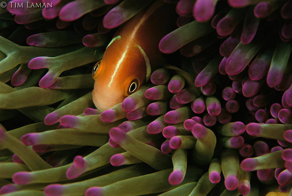 A clownfish nestled in the stinging tentacles of a sea anemone.