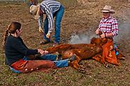 Cowgirls Jessica Sarrazin and Shyla Adamson wrestle calf at branding, Garth Isbell brands, Wilsall, Montana, MODEL RELEASED<br /> PROPERTY RELEASED